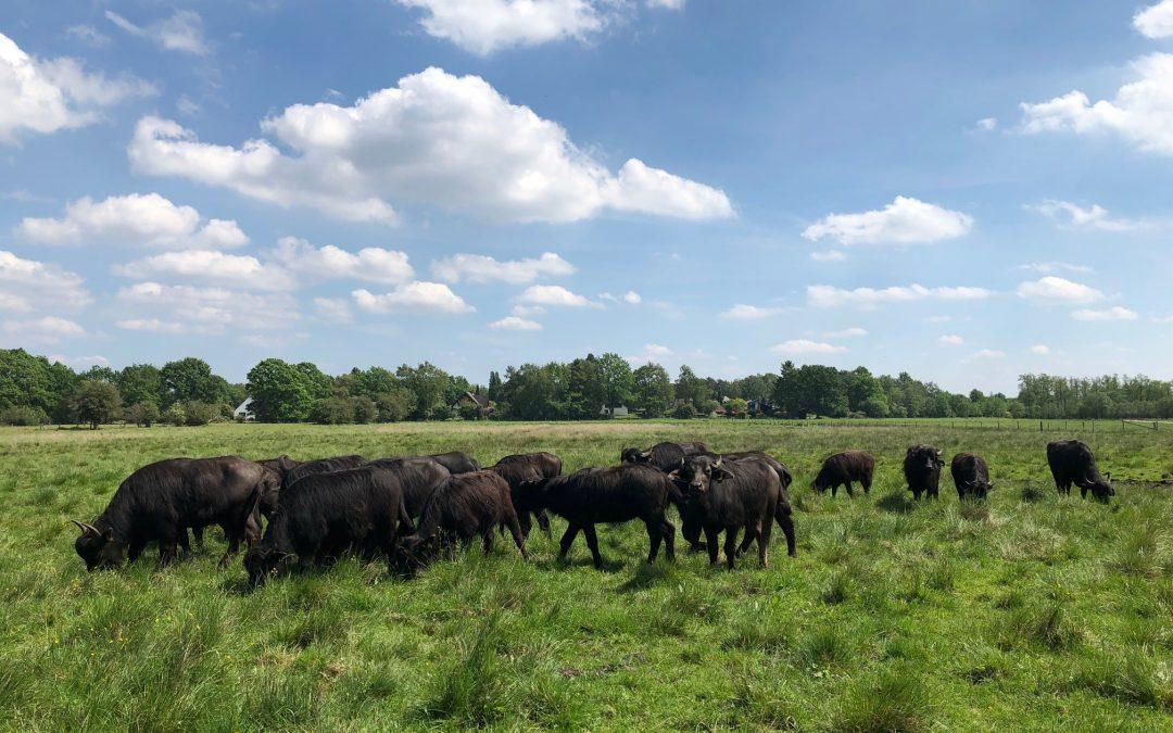 Wasserbüffel in der Rahwischniederung