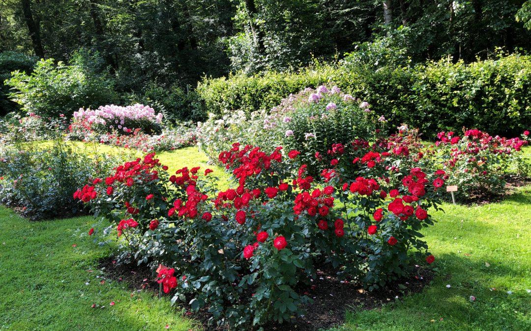 Pinneberg im Sommer: Der Rosengarten